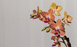 Yellow Orchid with Red Stripes Stock Image