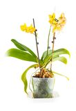 Yellow orchid. Room flower in transparent flowerpot. Isolated on white background royalty free stock photo
