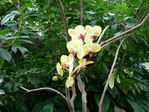Yellow Orchid in tropical forest Stock Image