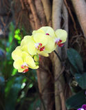 Yellow orchid. Twig lovely yellow orchid in tropical garden Royalty Free Stock Photo