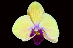 Yellow Orchid. View of a Yellow orchid on a black background Royalty Free Stock Photo