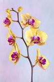 Yellow Orchid. View of a Yellow orchid on a blue and purple background Royalty Free Stock Photos