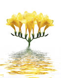 Yellow orchid in water Stock Photography