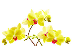 Yellow orchid on white Royalty Free Stock Photos