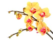 Yellow orchid, white isolated 2. Royalty Free Stock Photos