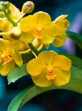 Yellow Orchids. Beautiful, exotic yellow orchids in full bloom Stock Photos