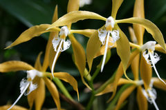 Yellow orchids. Tropical yellow orchids with distinct white petals in bloom royalty free stock photos