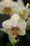 Yellow orchids. Yellow orchid close-up royalty free stock images