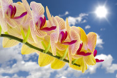Yellow Orchids Against the Sky Royalty Free Stock Image