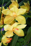 Yellow Orchids. In the garden Stock Photography