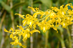 Yellow orchids on green Stock Photography