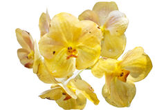 Yellow Orchids(This Image contains clipping path). The yellow Orchids(This Image contains clipping path royalty free stock image
