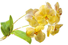 Yellow Orchids(This Image contains clipping path). The yellow Orchids(This Image contains clipping path royalty free stock photos