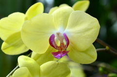 Yellow Orchids at 2015 Orchid Show Royalty Free Stock Image
