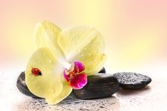 Yellow orchids  with ladybug. Yellow orchids and pebbles with ladybug Stock Images
