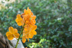 Yellow orchids on trees Royalty Free Stock Images