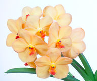 Yellow orchids Wanda Stock Photography