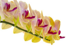Yellow Orchids on White Stock Images