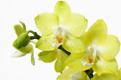 Yellow orchids wit waterdrops Stock Image