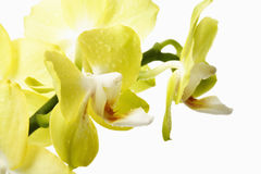 Yellow orchids wit waterdrops Royalty Free Stock Photography