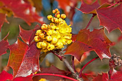 Yellow Oregon Grape Mahonia aquifolium Flower Stock Image