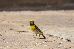 Yellow oriole bird. In india Royalty Free Stock Images