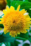 Yellow ornamental sunflower on background of green leaves closeu Stock Photo