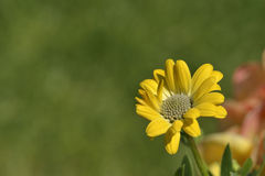 Yellow osteospermum daisy flower in spring Royalty Free Stock Photography