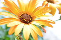 Yellow Osteospermum flower with raindrops. On the petals royalty free stock photos