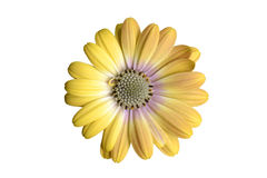 Yellow osteospermum Royalty Free Stock Image