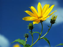 Yellow over blue. Yellow flower over blu sky Royalty Free Stock Image