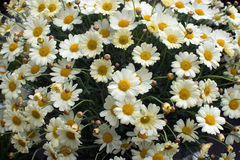 Yellow Oxe-eye daisy May flowers Stock Images