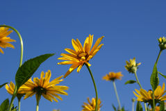 Yellow Oxeye Sunflowers (Heliopsis helianthoides). Yellow Oxeye or Sweet Smooth Oxeye Sunflowers  (Heliopsis helianthoides) against the blue sky Stock Images