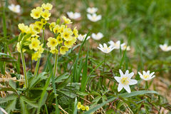 Yellow oxlip and white anemone flowers Stock Image