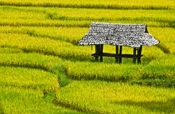 Yellow paddy field , Thailand Stock Images