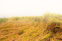 Yellow paddy and fog. Golden rice waiting to be harvested in the morning with fog Royalty Free Stock Images