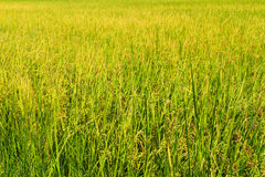 Yellow paddy rice in field Royalty Free Stock Images