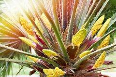 Yellow palm flowers. Nature spring royalty free stock photography