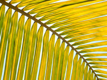 Yellow palm leaf Stock Photography