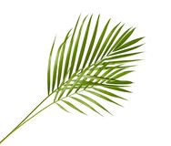 Yellow palm leaves Dypsis lutescens or Golden cane palm, Areca palm leaves, Tropical foliage isolated on white background. With clipping path Stock Image