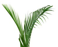 Coconut leaves or Coconut fronds, Green plam leaves, Tropical foliage isolated on white background with clipping path. Botany, clo