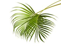 Yellow palm leaves Dypsis lutescens or Golden cane palm, Areca palm leaves, Tropical foliage isolated on white background. With clipping path Stock Images