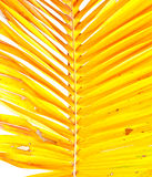 Yellow palm leaves Royalty Free Stock Photos