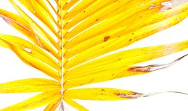 Yellow palm leaves Royalty Free Stock Photo