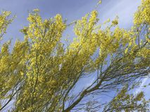Blossoms of Palo Verde in Spring Stock Images