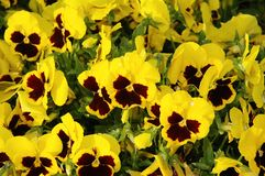 Yellow Panies. Small yellow pansies stock images
