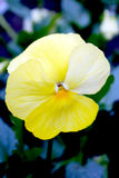 Yellow pansies Stock Photos