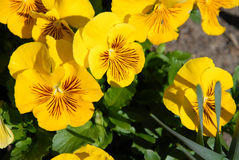 Yellow Pansies. In a garden in full bloom Stock Image