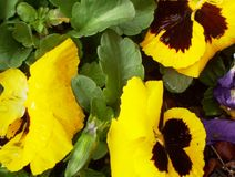 Yellow Pansies. Close up of yellow pansies royalty free stock images