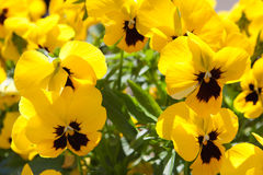 Yellow pansies background Royalty Free Stock Image